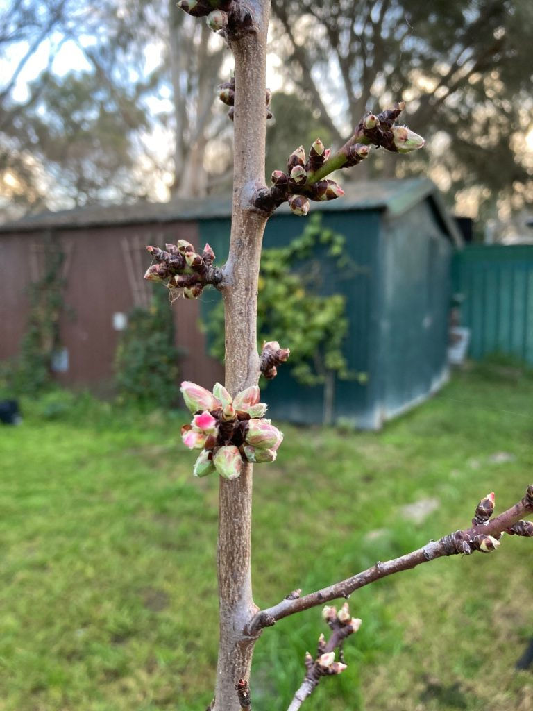 Christabel Marek – The very first blossoms appearing in my garden, a sign that Spring is nearly here. I hold this image dear because it reminds me that despite all the challenges around us, nature keeps moving forward and in such a beautiful way.
